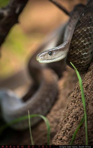 The worlds deadliest snake, the terrifying Black Mamba.