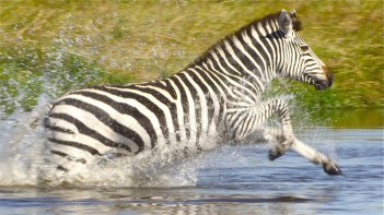The Zebra returning North