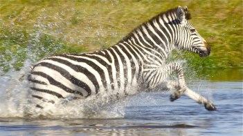 The Zebra returning North