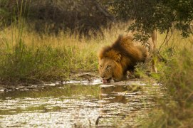 Thirsty - Londolozi
