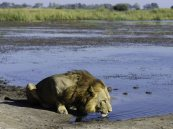 Thirsty male lion at Linyanti GR, Botswana