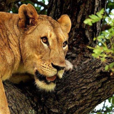 Tree-climbing lion at Phinda