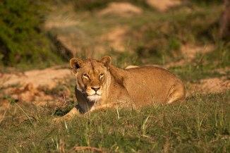 Tsalala-lioness - 5Oct12 Londolozi