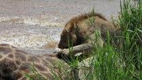 Tsalala-Young-Male-and-Giraffe