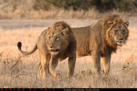 Two huge male lions immediately react to the sound of approaching buffalo