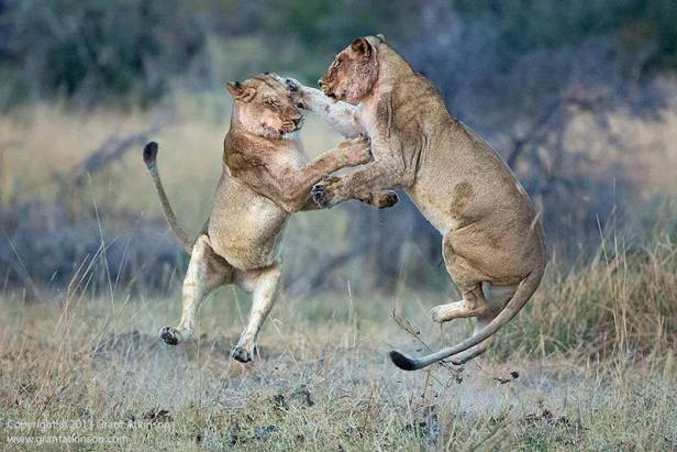 Two lionesses photographed before sunrise, at play in the Okavango Delta
