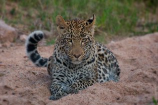 Vomba cub in the sand - Londolozi