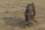 Warthog with Oxpecker