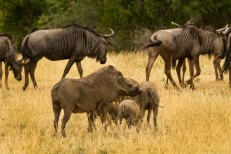 Warthogs and wildebeests