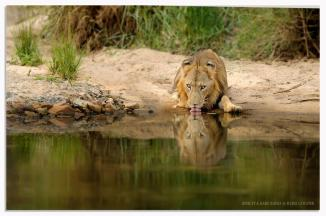Watchful drink - Ross Couper Photography