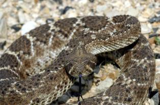Western Diamondback Rattlesnake - Photo © Charles & Clint