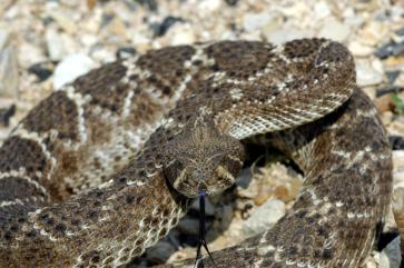 Western Diamondback Rattlesnake - Photo © Charles & Clint