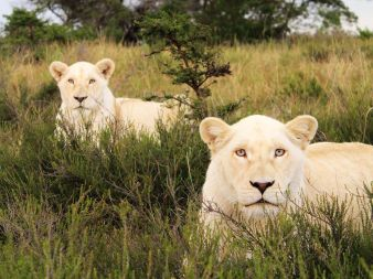 white-lions-south-africa_40065_990x742