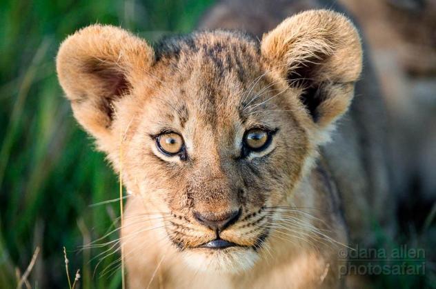Wide eyes, Okavango by Dana Allen - PhotoSafari