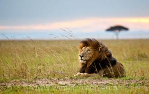 Wind on the Masai Mara. All copyrights to Marinovich Wildlife Photography