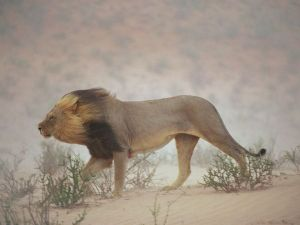 windy-lion_26405_600x450