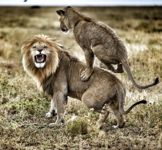 Wonderful Image of Lions at Play by Michael Nick Nichols from National Geographic Magazine!
