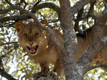 Young in a tree, Zambesi Valley by Chris Johns