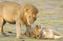 Young male & female lion at Serengeti NP, Tanzania
