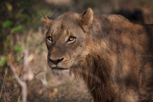 Young-Male-Lion-Sparta - 30Sept12 Londolozi
