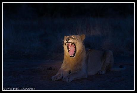 Young male lion yawns by Francois van Heerden
