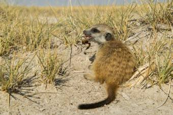 Young meerkat with a scorpion