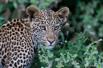 Youngster at Mashatu - Isak Pretorious Wildlife Photography