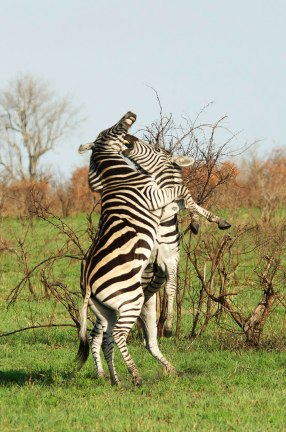 zebra-fighting