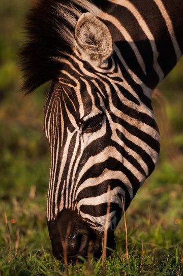 Zebra-grazing - 20Sept12 Londolozi