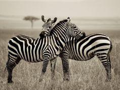 zebra-pair-kenya_Masai Mara