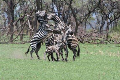 zebra2 Singita