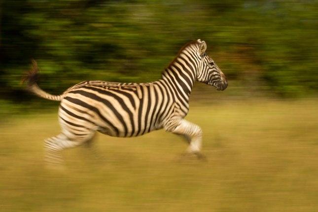 Zebra_run