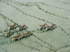 zebras-botswana-haas_28117_990x742