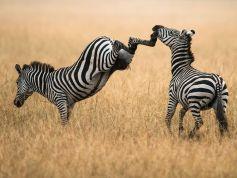 zebras-masai-mara_60646_990x742