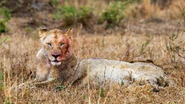 A lion bloodied in a battle with a buffalo. An age old conflict.