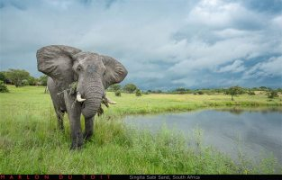 A lone elephant bull feeds along a waterhole as rainclouds build up along the horizon.