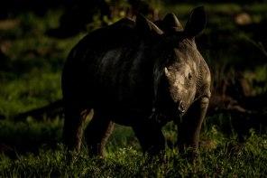 aa Rhino calf