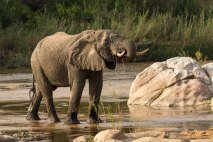 An elephant bull pauses to drink from the Sand River