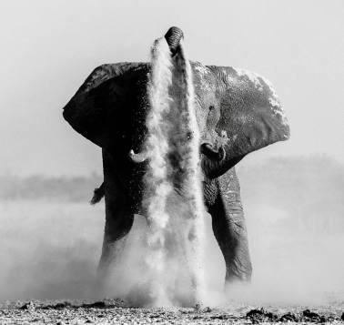 An elephant busy with dusting on Nxai Pan, Botswana. Photo by Denis Roschlau.