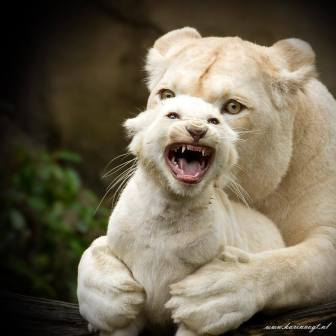 Angry white lion cub