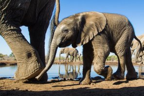 At the waterhole Mashatu - Isak Pretorius Wildlife Photography