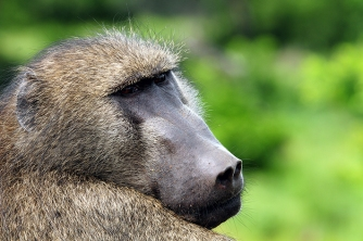 Baboon_Stoff-2
