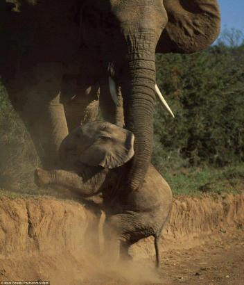 Baby Elephant Helped up by His Mother