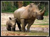 Baby rhinoceros with mommy