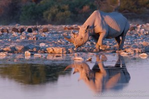 Black Rhino by Laura Dyer Photography