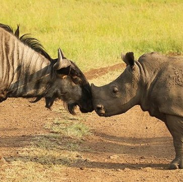 Blue Wildebeest and Rhino calf