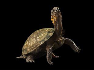 bog-turtle-1198158-081509_3623_990x742