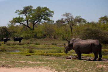 Buffalo-and-rhino-at-Circuit-Pan - 5Oct12 Londolozi