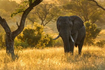 Bull, Ximpalapala - Londolozi