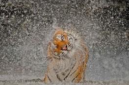 Busaba - Indochinese tigress